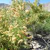 Catclaw (Senegalia greggii) FABACEAE