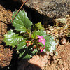 Broad-leaf Gilia (Aliciella latifolia) POLEMONIACEAE