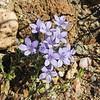 Bristly Calico (Langloisia setosissima ssp. setosissima) POLEMONIACEAE