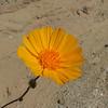 Desert Sunflower (Geraea canescens) ASTERACEAE