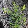 Whispering Bells (Emmenanthe penduliflora) BORAGINACEAE