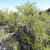 Lotebush (Ziziphus parryi var. parryi) RHAMNACEAE