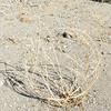 Dune Evening Primrose Or Bird Cage (Oenothera deltoides) ONAGRACEAE