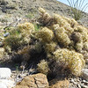 Pencil Cholla (Cylindropuntia ramosissima) CACTACEAE