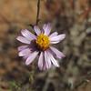 Sandaster (Corethrogyne filaginifolia)