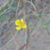 Rush-rose (Helianthemum scoparium)