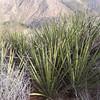 Mohave Yucca (Yucca schidigera)