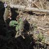 Caterpillar Phacelia (Phacelia cicutaria)