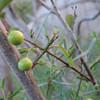 Bush Rue (Cneoridium dumosum)