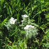 Forget-Me-Not  (Cryptantha sp) BORAGINACEAE