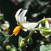 White Nightshade  (Solanum douglasii) SOLANACEAE