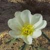 California Evening-primrose (Oenothera californica ssp. avita) ONAGRACEAE