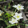 White Fiesta Flower  (Pholistoma membranaceum) BORAGINACEAE