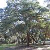 Engelmann Oak (Quercus engelmannii)