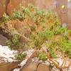 Pygmy Cedar (Peucephyllum schottii) ASTERACEAE