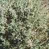 Burrobush (Ambrosia dumosa) ASTERACEAE