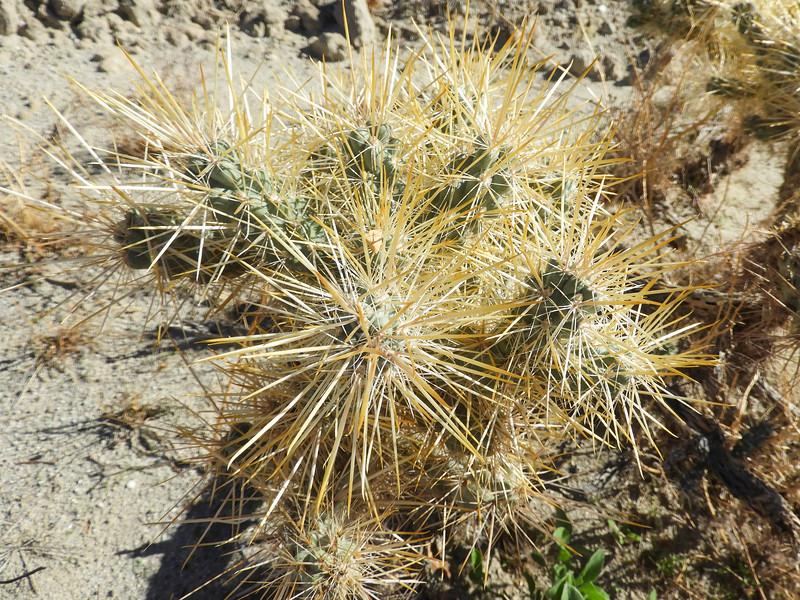 Golden Cholla (Cylindropuntia echinocarpa) CACTACEAE