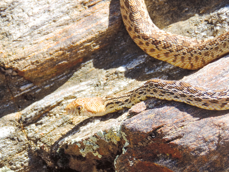 Gopher Snake (Pituophis catenifer) COLUBRIDAE