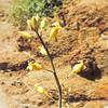 Hall's Caulanthus (Caulanthus hallii) BRASSICACEAE