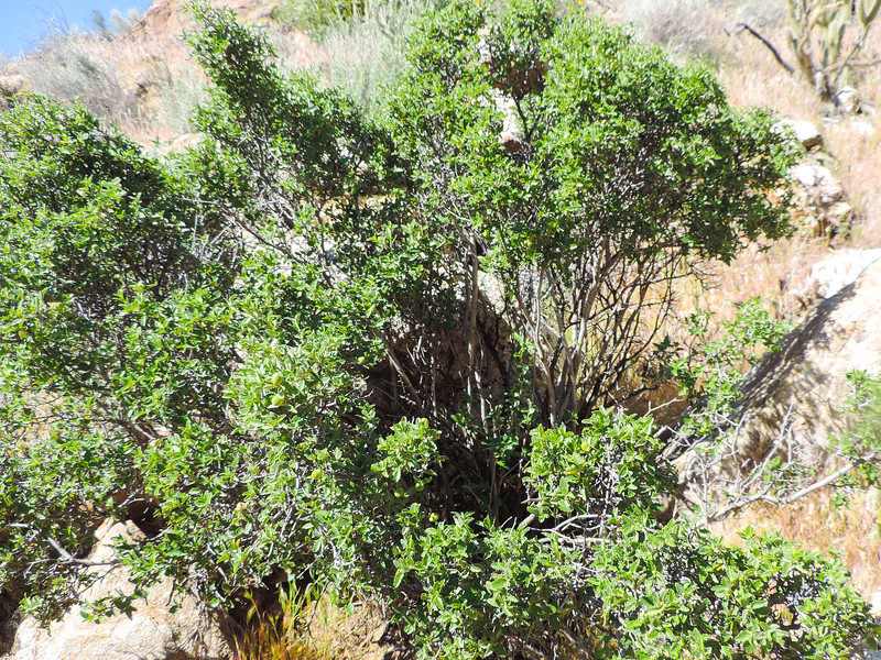 Western Bernardia (Bernardia incana) EUPHORBIACEAE