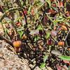 California Ayenia (Ayenia compacta) MALVACEAE