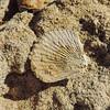 Scallop Fossil