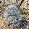 Fishhook Cactus (Mammillaria tetrancistra) CACTACEAE