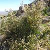 Desert Apricot (Prunus fremontii) ROSACEAE