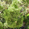 California Juniper (Juniperus californica) CUPRESSACEAE