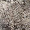 Crown of Thorns (Koeberlinia spinosa) KOEBERLINIACEAE