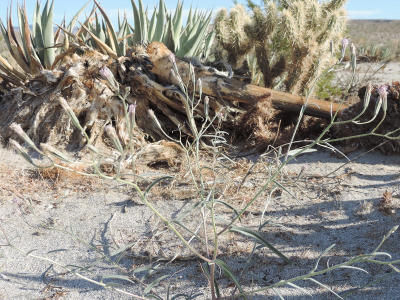 Spanish Needle (Palafoxia arida) ASTERACEAE