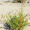 Desert Tobacco (Nicotiana obtusifolia) SOLANACEAE