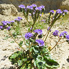 Notch-leaved Phacelia (Phacelia crenulata) BORAGINACEAE