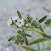 Panamint Cryptantha (Cryptantha angustifolia) BORAGINACEAE