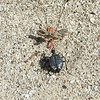 Desert Spider Beetles (Cysteodemus armatus)
