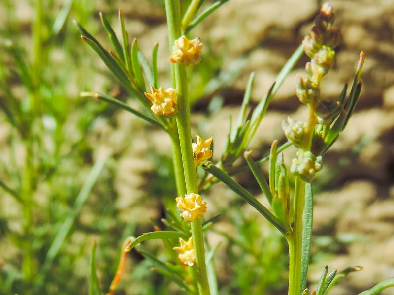 Lineleaf Whitepuff (Oligomeris linifolia) RESEDACEAE
