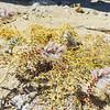 Soft Prairie Clover (Dalea mollissima) FABACEAE