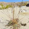 Three-awn (Aristida adscensionis) POACEAE