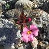 Bigelow's Monkeyflower (Mimulus bigelovii) PHRYMACEAE