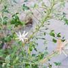 Desert Arrow-leaf (Pleurocoronis pluriseta) ASTERACEAE