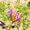 Salton Milk-vetch (Astragalus crotalariae) FABACEAE