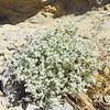 Honeysweet (Tidestromia suffruticosa var. oblongifolia) AMARANTHACEAE