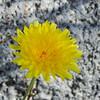 Desert Dandelion (Malacothrix glabrata) ASTERACEAE