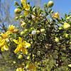 Creosote Bush (Larrea tridentata) ZYGOPHYLLACEAE