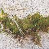 Desert Spikemoss (Selaginella eremophila) SELAGINELLACEAE