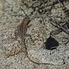 Western Side-blotched Lizard (Uta stansburiana elegans)