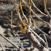Brittlebush (Encelia farinosa) ASTERACEAE