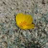 Desert Golden Poppy (Eschscholzia glyptosperma) PAPAVERACEAE