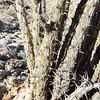 Ocotillo (Fouquieria splendens) FOUQUIERIACEAE