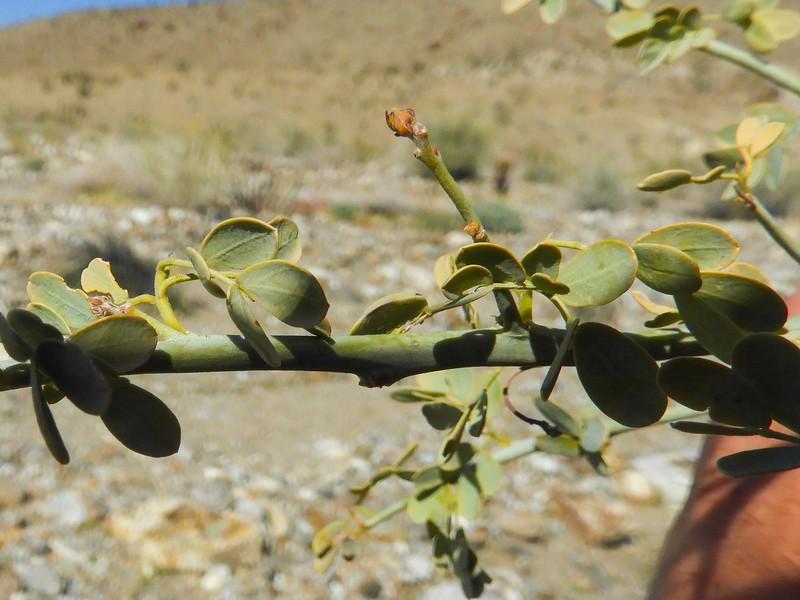 Blue Palo Verde (Parkinsonia florida) FABACEAE